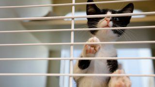 In this Wednesday, Aug. 28, 2019, file photo, a kitten is seen in LifeLine Animal Project's DeKalb County Animal Services shelter in Chamblee, Ga.