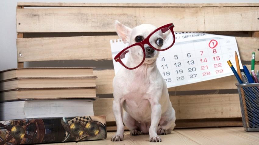 Perrito raza chihuahua usando lentes.
