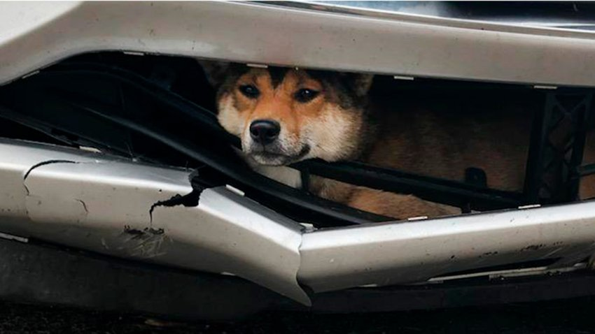 Dog Stuck Bumper