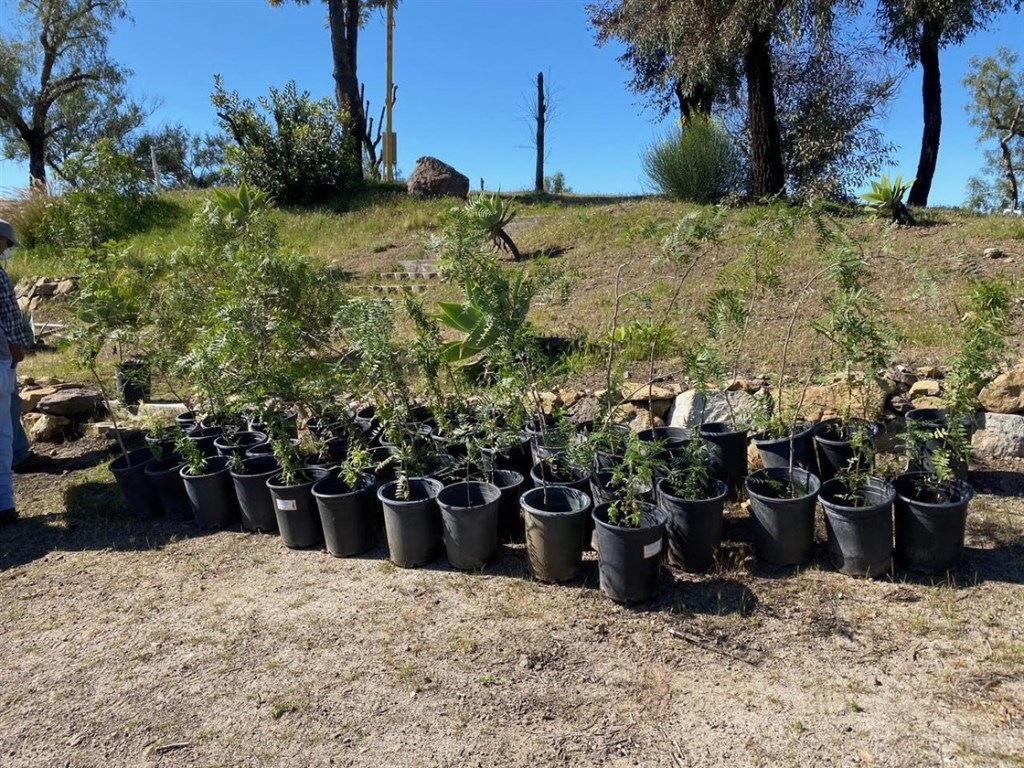 Row of pepper trees