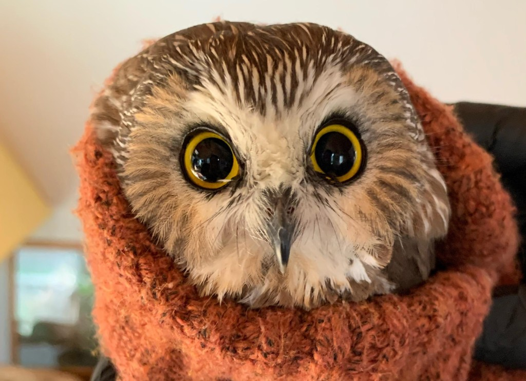 A Ravensbeard Wildlife Center worker swaddles a saw-whet owl