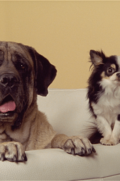 Two dogs sit on a couch together